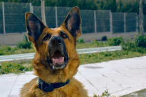 find-a-dog-trainer-asap-for-german-shepard